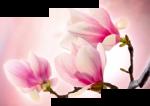 Розовая сакура 49-05